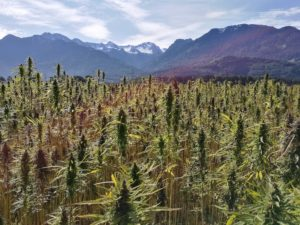 Cannabis Plantation