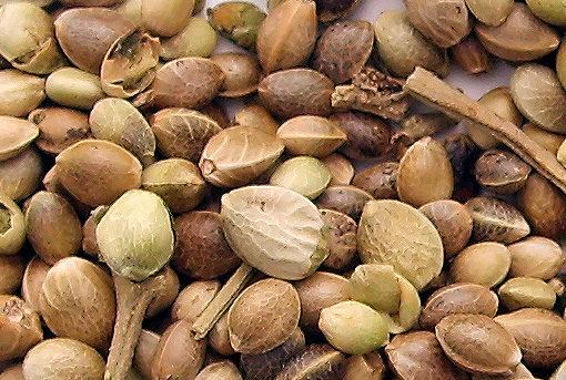 Marijuana seeds Feminized