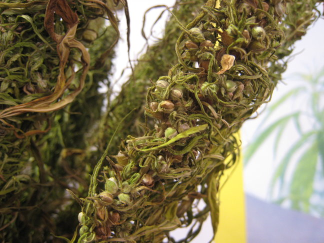 Hemp bud with lots of seeds