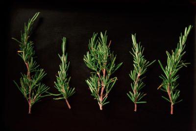 Rosemary trees